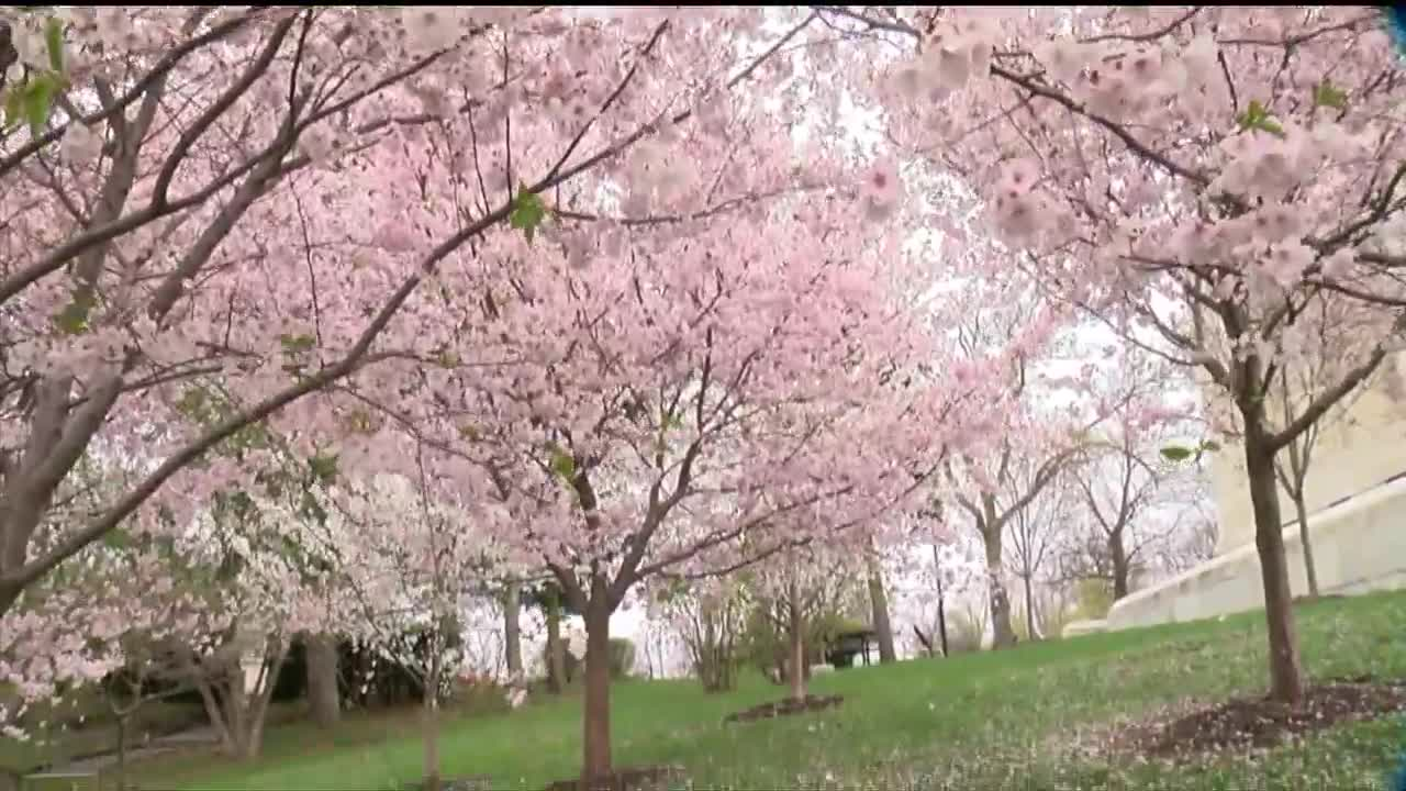 Celebrate Spring With The 6th Annual Buffalo Cherry Blossom Festival The Challenger Community News